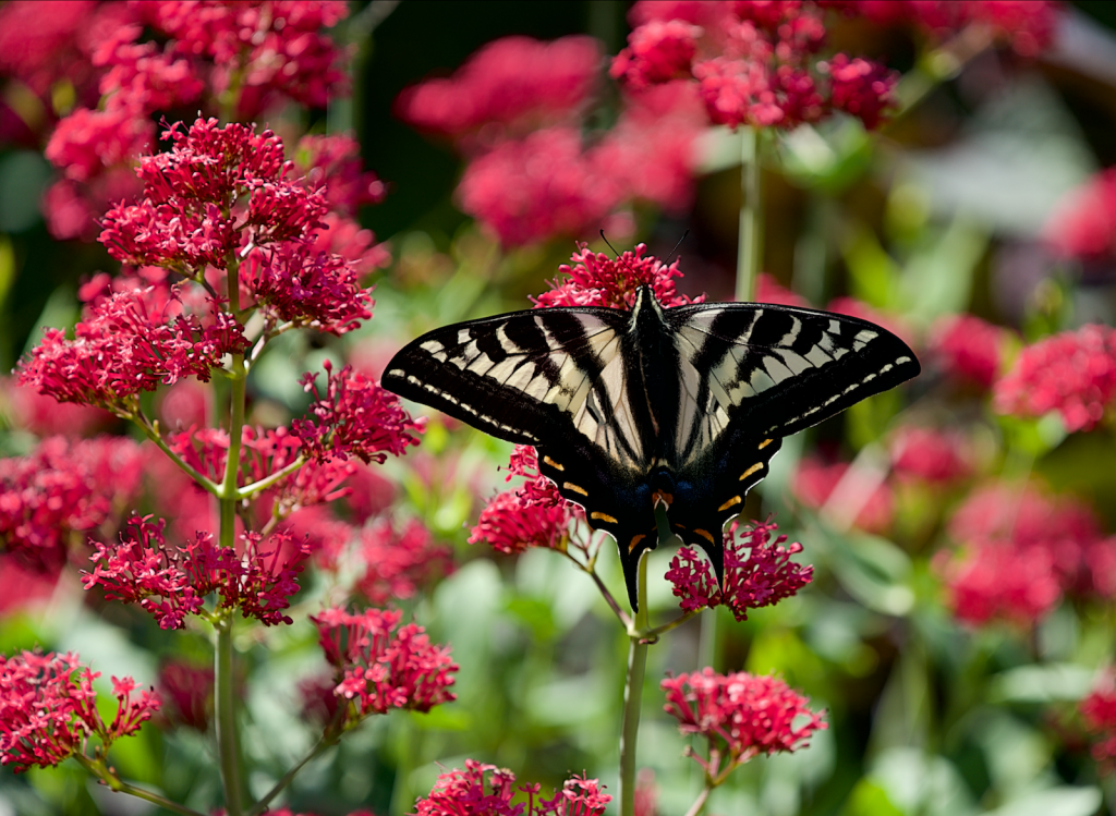 Butterfly in garden - Wes Carlson Photo